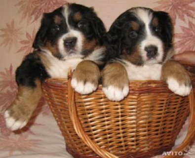 Outstanding Bernese Mountain Puppies for sale.