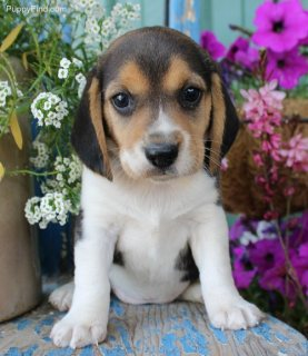 Male and female Beagle puppies.