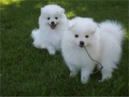 male and female American Eskimo puppies