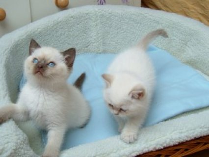 ragdoll kittens available for sale