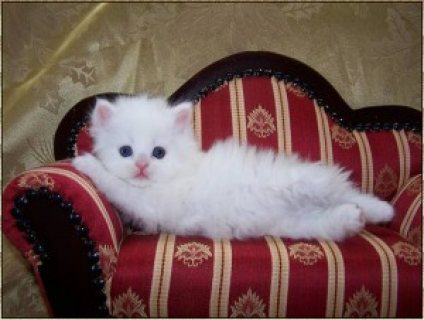 صور loovely persian kittens for rehoming,.//. 1