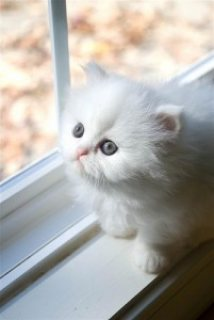 Adorable Persian Kitties for Sale,,,