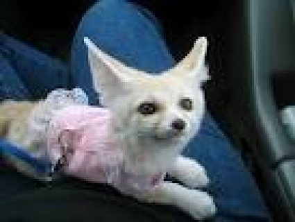 Charming male and female Fennec fox for adoption