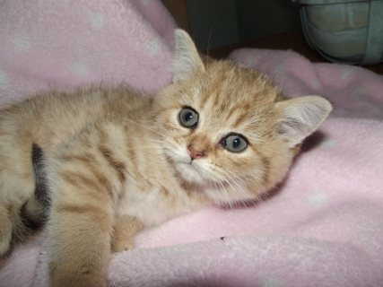 Golden Tipped /exotic ,british Shorthair , Kitty