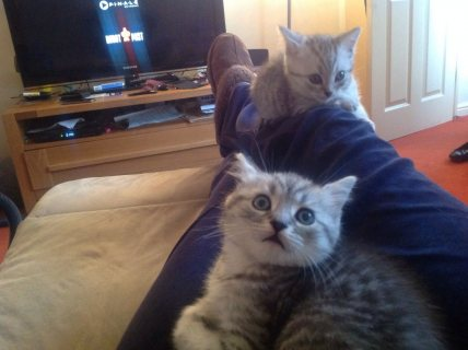 British Short Hair Spotted Tabby Kittens Reduced