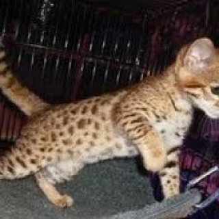 ADORABLE SAVANNAH KITTENS FOR SALE