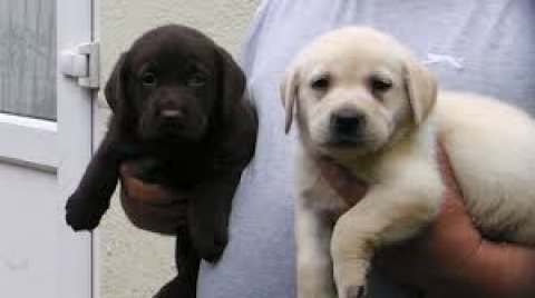 Gorgeous males and females labrador Puppies for sale