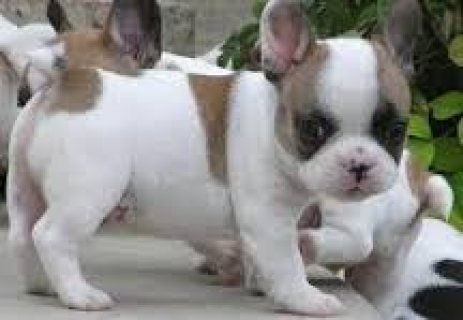 Male and Female French bulldog Puppies for sale...