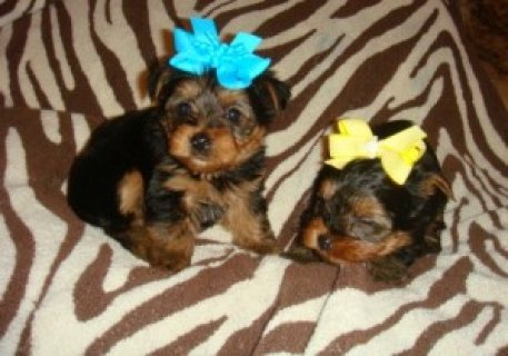 Beautiful male and female Yorkie puppies for sale......