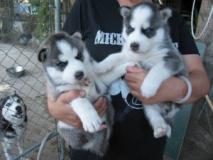 male and female siberian husky for sale
