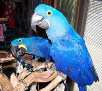 Talking Pair Of Hyacinth Macaw Parrots for sale
