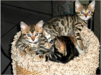 Adorable male and female Bengal kittens for sale .Please contact