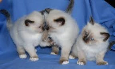 100% Pure breed Birman kittens for sale