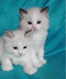 Beautiful Indoor Pedigree Ragdoll Kittens