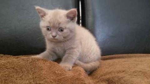 Beautiful Scottish Fold Kittens / Straight Ears For Sale
