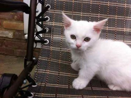 Ready Now - Gorgeous White Male And Female Munchkin