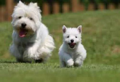 west highland white terrier puppies