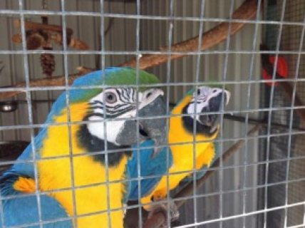 Pair of Blue & Gold Macaws (Price Reduced