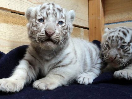 Pure White Siberian  Tiger Cubs