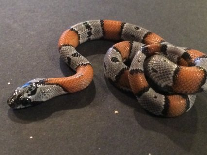 Milksnakes, Graybands and Knobolichi