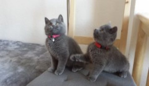 available very cute and chunky blue British Short hair kittens f