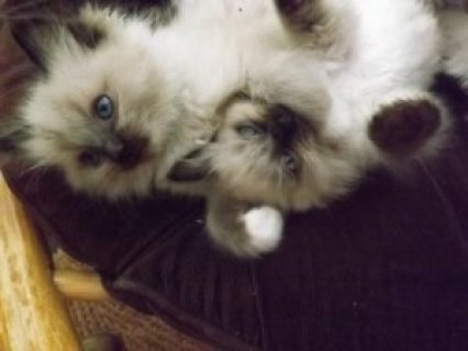 Gorgeous Ragdoll Kittens for sale...