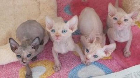 Beautiful Sphynx Kittens Available for sale