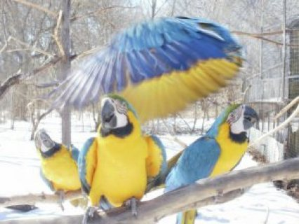 Healthy Blue and Gold Macaw Parrots for sale.Email us now .