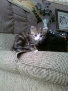 Beautiful maine Coon Kittens now available for sale