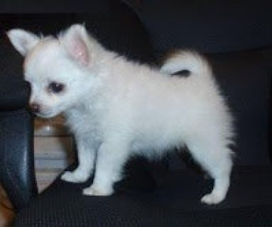 Cute chihuahua Puppies for sale.....