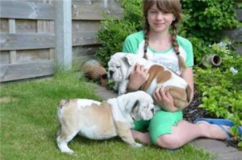 Exceptional Quality English Bulldog Puppies For Sale.