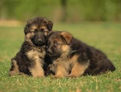 Very high quality and health tested GSD puppies for sale