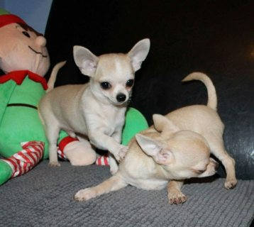 Handsome tiny boys are available for a new loving ...