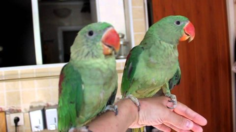 Male & Female Alexandrine Parrots