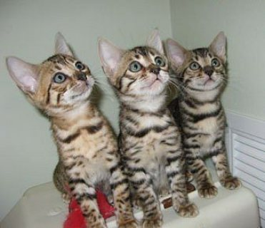 Stunning Bengal Available