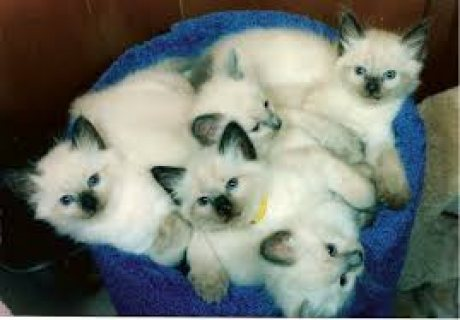 Pedigree Balinese Kittens
