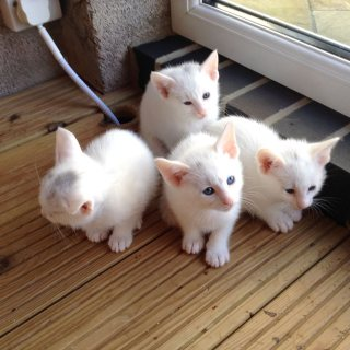 Oriental Pedigree Kittens