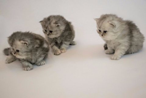 Stunning Persian Kittens