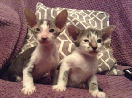 Peterbald Kittens For Sale