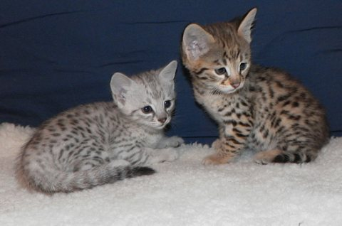 beautiful Savannah kittens