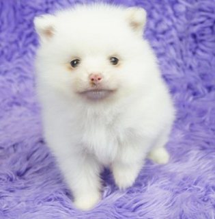 Sweett pomeranian puppies akc