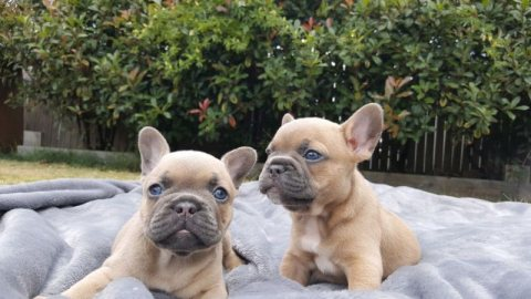 Well trained French Bulldog puppies ready