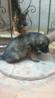 pure german dogs for sale 35 days 5500