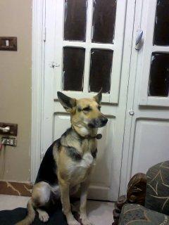كلب جيرمن شيبرد شورت هير (رخصة) ومعة 10