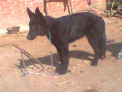 كلب بلاك كوت بلجيكى للبيع