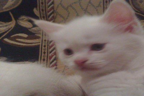 قطط شيرازى على سيامى