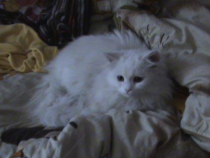 قط وقطه شيرازي بيور ابيض