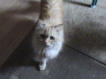 قطه هاف بيكي مشمشي