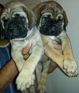 old english mastiff puppies for sale