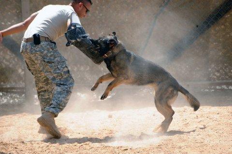 تدريب كلاب طاعه و شراسه و حراسه و تسبيت